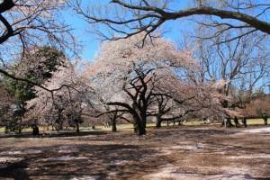 Nacionalni-vrt-Gojen-u-Sindjukuu-Tokio-Japan