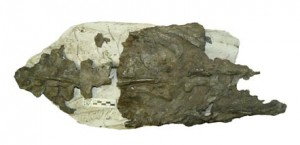 giant_penguin_fossil