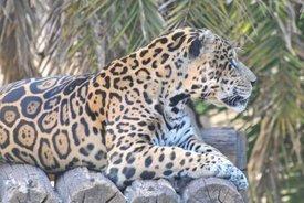 jaguarheadline