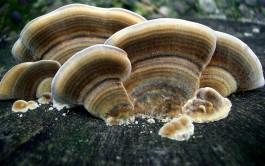 turkeytailmaushroom-265x166