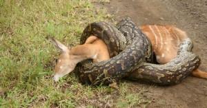 Piton antilopa