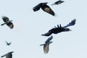 Vrane1