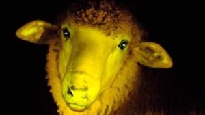 ovci svetat