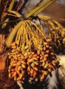 2506887-Dates_on_the_palm_tree-Dubai