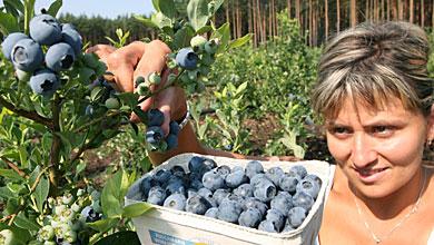 sumski plodovi sobiranje