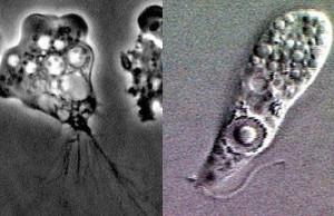 ameba-smrtonosna