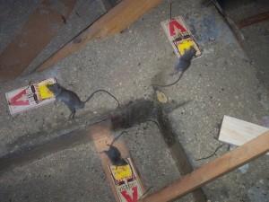 rat004