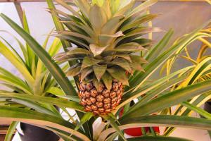 ananas-u-stanu