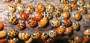 asian-lady-beetle-564x272