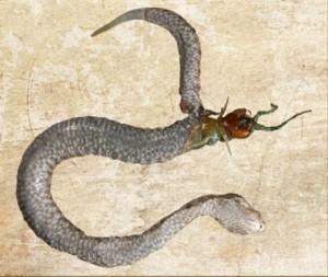 stonogalka zmija