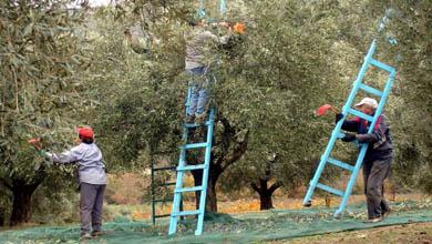 Farmers harvesting olives