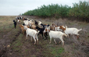 koze-ovci500