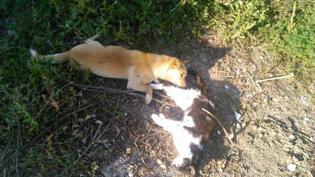 mrtvi kucinja macki