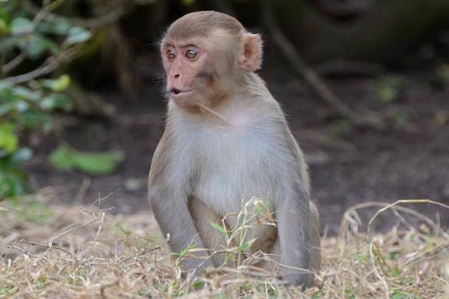 majmun-630x420