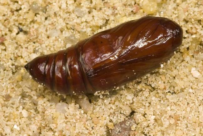 larva tigrest komarec