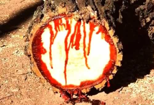 drvo-krv