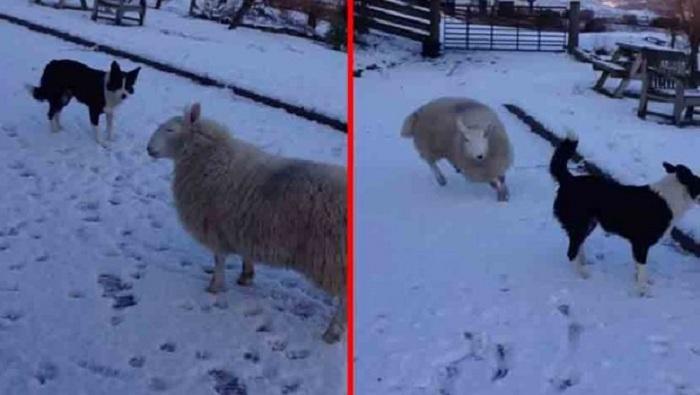 ovca-kuce