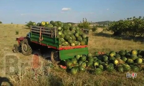 lubenici