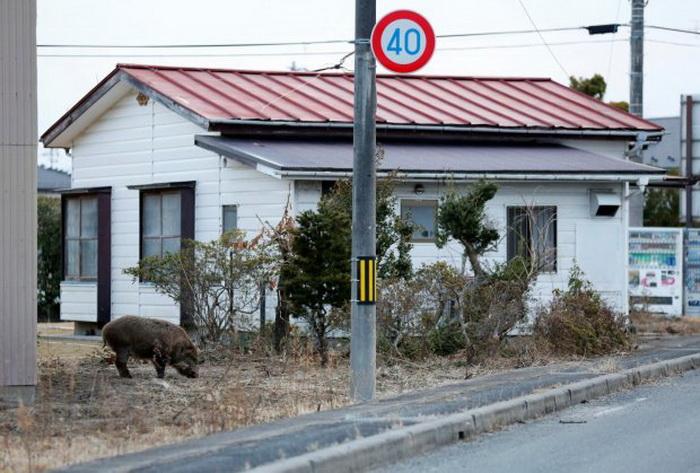 fukusima-divi-svinji-radioaktivni-02